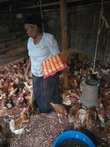 Ms Nduku collecting eggs from her chicken farm in Gathiga, Kiambu County in Central Kenya (Photo Courtesy: Farm Biz Africa)