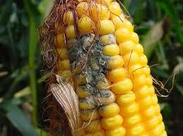 mycotoxins on corn