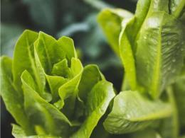 Lettuce - photo by Stephanie Moody on Unsplash