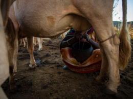 woman milking cow
